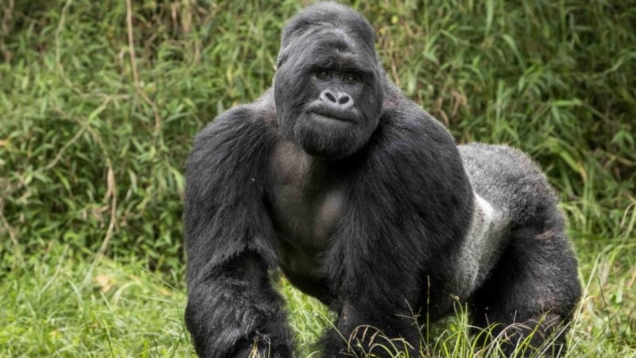 A silverback mountain gorilla in Uganda. (Skylar Bishop/Gorilla Doctors)