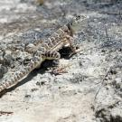A lizard on dirt