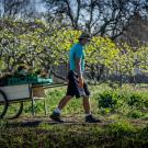 man in a mask wheeling a cart of fruits in an orchard