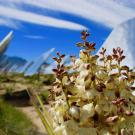 a flowering mojave yucca in the foreground surrounded by solar panels
