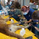 a group of women in masks and gloves treating the paws of an injured mountain lion